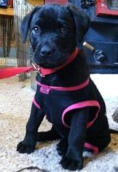 Breeze is an adoptable Labrador Retriever Dog in Neosho, MO. Breeze is a 8 week old black Mastiff/lab mix (as of 2/1/13). She is growing fast and likely be a medium to large dog. She loves to go for w...