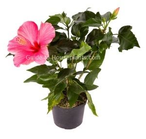 Tips for growing hibiscus, pruning. Hibiscus flower, the state flower of Hawaii. Get tips for caring for hibiscus plants indoors.