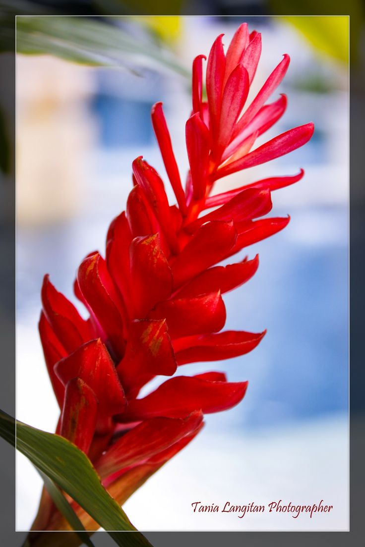 This flower was besides on swimming pool. So I took it with the blue pool background :)