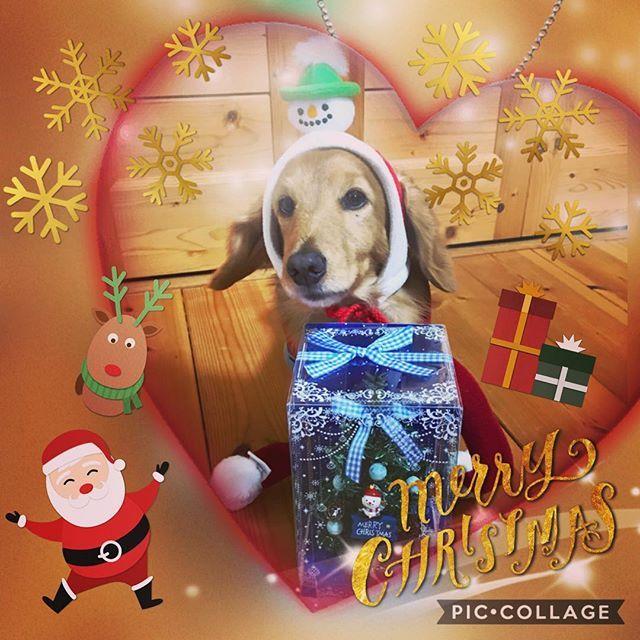 ・ ・ MerryX'mas❤︎*。✩°。⋆⸜(* ॑꒳ ॑* )⸝ ・ ・ #dachshund  #dachs  #dogstagram  #doglife  #lovemydog  #christmas #愛犬 #ミニチュアダックス #christmas ・ #ついに終結 #りーくんとの戦い #諦めた? #雪だるま #頭のてっぺんに #乗せてみる  #安定感 #まるでなし #シャッター押す度 #雪だるま 落下 #奇跡の1枚😭 ・ ・ りーくん 来年こそは かっこいい Xmasの服 買うからね😅 ・ おつかれ りーくん♡ おつかれ あたし😂😂 ・ 1つ わかったのは わんこも ため息 つくってこと! ハァ・・(;-ω-) by りー🐶