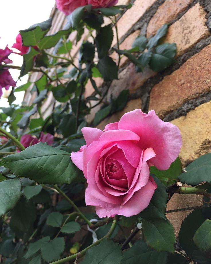 *** .. 名前が分からないですが… 綺麗なつるバラでしたぁ�� (*´pq`*)ムフッ . . #花 #バラ #薔薇 #ローズ #つるバラ #バラ園 #春 #5月  #igで繋がる花 #igで繋がる薔薇 #igで繋がる素敵な出逢い #このおなじ空のもと僕らはつながっている  #flower #Rose #Climbing #RoseGarden #japan #love #spring #flower_pic #flowerslovers #ig_flowers http://gelinshop.com/ipost/1515907373637493736/?code=BUJlbmGDuPo