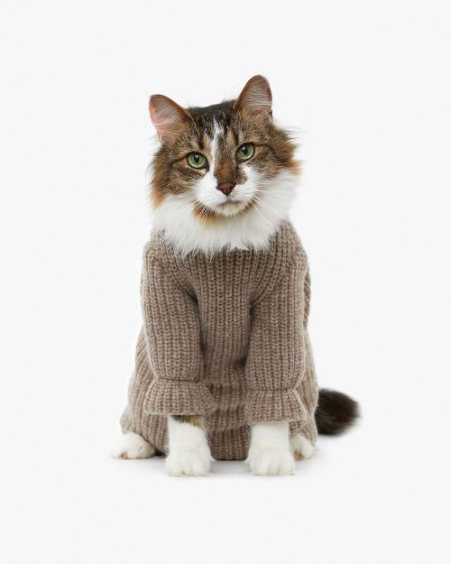 Gorgeous cat in sweater.