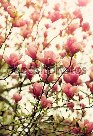 Фотообои Цветущее дерево магнолии