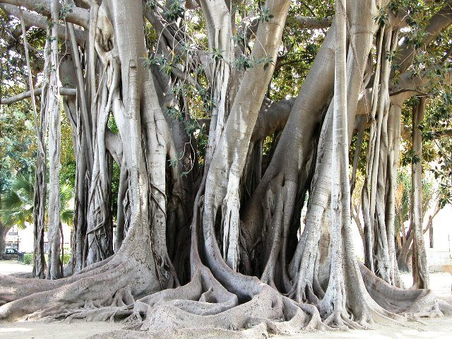 One of the many millenary ficus in Palermo http://www.dreamsicilyvillas.com/guide/sicilian-cities/palermo/
