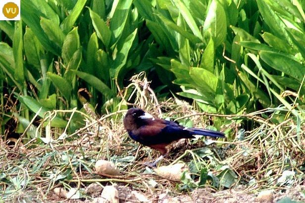 "https://www.facebook.com/WonderBirdSpecies/ Lidth's jay/Amami jay (ルリカケス)(Garrulus lidthi); Native to Japan (Amami Ōshima and Tokunoshima islands); IUCN Red List of Threatened Species 3.1 : Vulnerable (VU)(Loài sắp nguy cấp) <("") Giẻ cùi Nhật; Loài bản địa Nhật Bản trên các đảo Amami Ōshima và Tokunoshima ; HỌ QUẠ - CORVIDAE (crows, ravens, rooks, jackdaws, jays, magpies, treepies, choughs, and nutcrackers)."