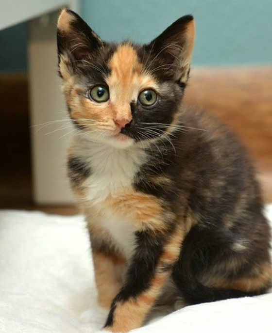 calico kitten rescue story to forever home