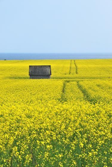 Canola Field by shornjester