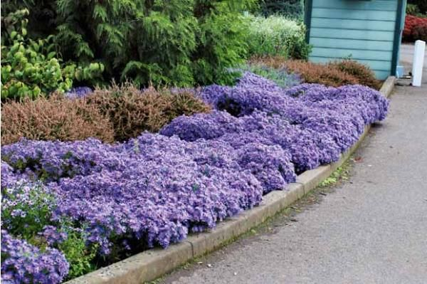 3 Asters 'Wood's light blue'