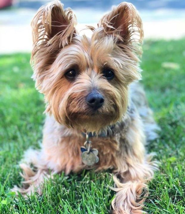 Lost Dog Shakopee Australian Terrier Male Date Lost 11 20 2018