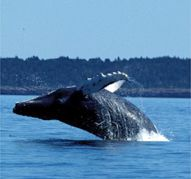 Whale Watching - Nova Scotia