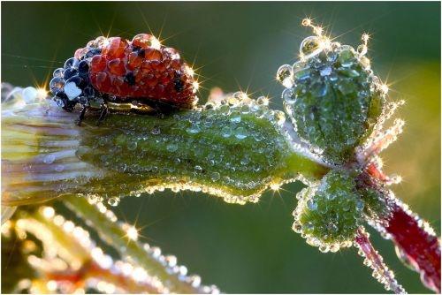 Morning dew: Ladybug in the morningEars Mornings, Waterdrop, Animal Photography, Dew Drop, Ladybugs, Morningdew, Water Droplets, Mornings Dew, Animal Photos