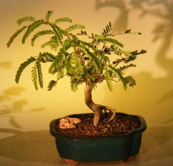 Tamarind Bonsai Tree