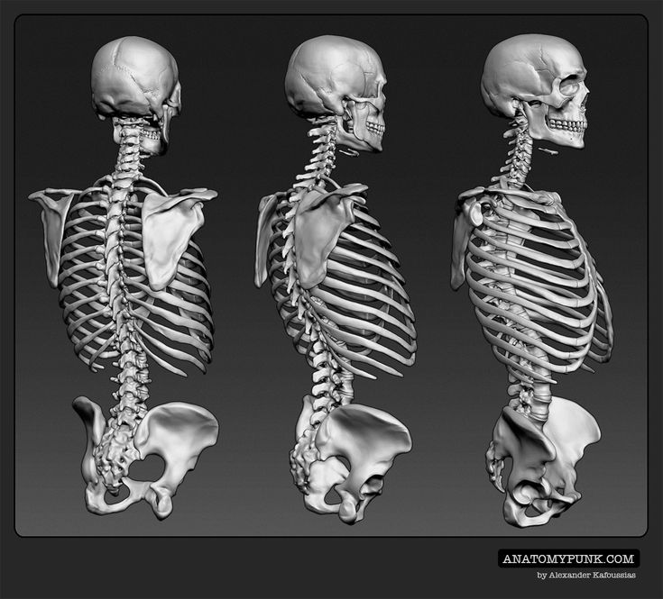 49 best skeleton images on pinterest | anatomy reference, human, Skeleton
