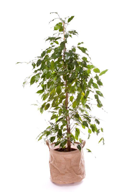 Ficus Benjamina 130/150cm