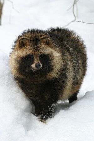 Raccoon dog. So precious. And they're SKINNED ALIVE for their fur. PLEASE, GO FAUX FUR OR NO FUR!