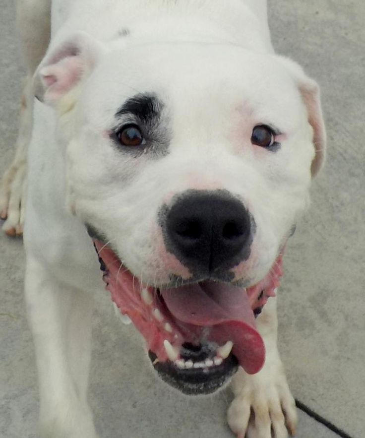 """Jynx - URGENT - Stark County Dog Warden in Canyon, Ohio - ADOPT OR FOSTER - Young Female Am. Bulldog - Available July 12, 2017 - Owner surrendered - Poor Jynx is back where she started not so long ago. This pretty girl is young, strong, energetic, and NEEDS daily exercise. Jynx is very loveable and friendly! She loves to play and gives the ball back!  We love her """"one"""" eyebrow, that looks painted on!  Please meet Jynx.  Cage life isn't for her and she needs another chance."""