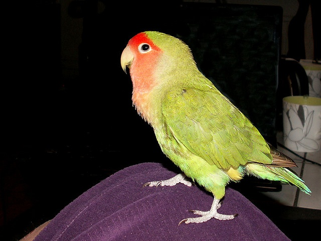 Some people has lapdogs I have a lapbird, via Flickr. This is Bosse. Lovebird