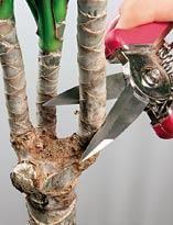 Драцена: как размножить черенками