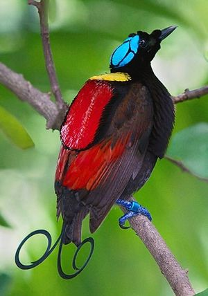 I Am Beautiful. And Bird. Soak in my Beauty. Wilson's bird-of-paradise