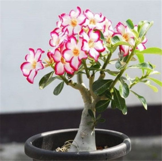 Green plant flower garden adenium obesum 5 seeds bulk desert rose bonsai tree flower seeds s0029 - Indoor flowering plants ...