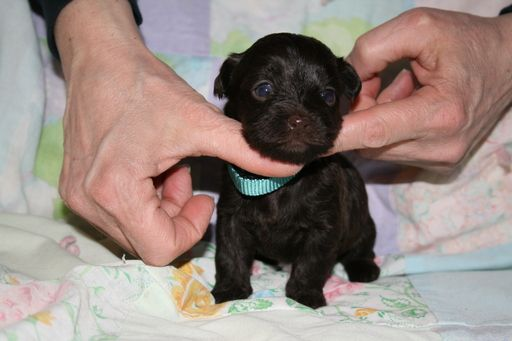Litter of 6 Havanese puppies for sale in OSWEGO, NY. ADN-22161 on PuppyFinder.com Gender: Female. Age: 3 Weeks Old