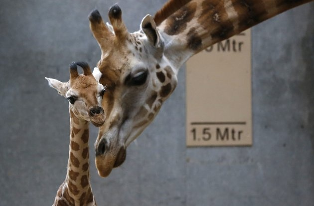 Dagmar, the Rothschild giraffe, nuzzles her newborn calf in their enclosure at Chester Zoo in Chester, northern England. #baby #animals #photography
