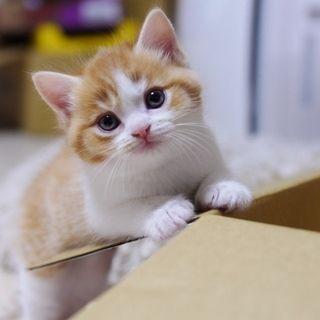 小さい頃から美猫のミュウ(足長マンチカン)|マンチカンズと仲間たち(短足猫のマンチカンの画像と動画)
