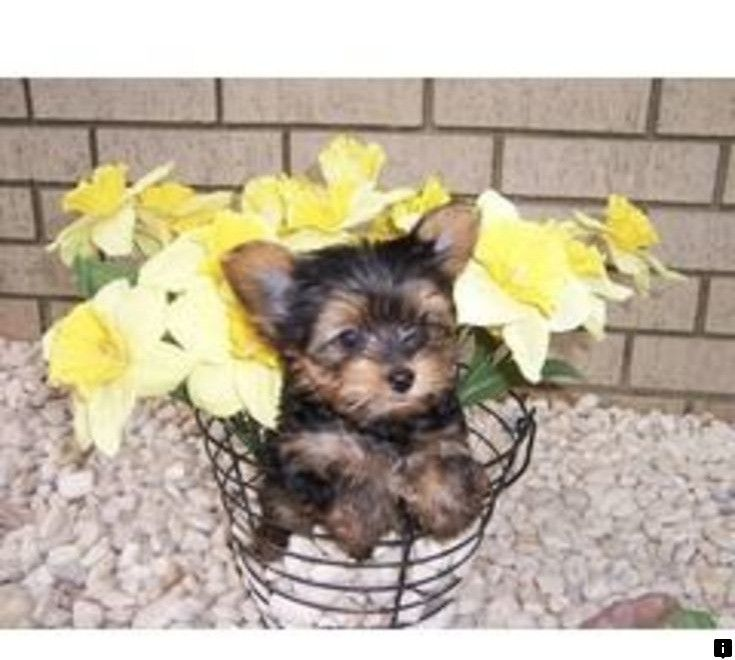 Look At The Webpage To See More About Dalmatian Puppies For Sale Check The Webpage For More Information Enjoy The Yorkie Puppy Yorkie Puppy For Sale Yorkshire Terrier Puppies