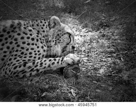 Feeding cheetah