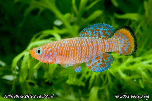 22 best images about freshwater tropical fish on pinterest for Colorful freshwater fish