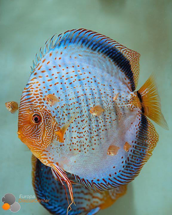 Blue Snakeskin Diskus Bock Mit Jungtieren Discus Diskusfische Tropicalfish Aquarium Europadiscuscenter Fr Diskusfische Tropische Fische Aquarienfische