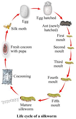 Animal Fibres- Silk. The life-cycle of a silk worm