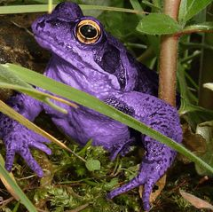 The Colorado River Toad and the Cane Toad were once popular gateway drugs. When agitated, both secrete a hallucinogenic chemical through the skin. Licking that skin became incredibly popular, but the party practice could be fatal - some toads emit a cardiac toxin