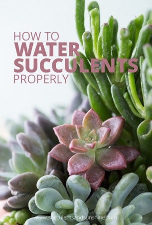 Hve you ever wondered how much to water succulents? This post will teach you how to properly water succulents to keep them looking great!