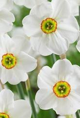 Narcissus Pheasants Eye - Daffodil Bulbs