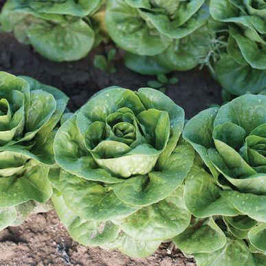 Newham ORGANIC Lettuce Seeds (Lactuca sativa) + FREE Bonus 6 Variety Seed Pack - a $30 Value!