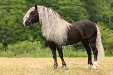 Schwarzwälder horse