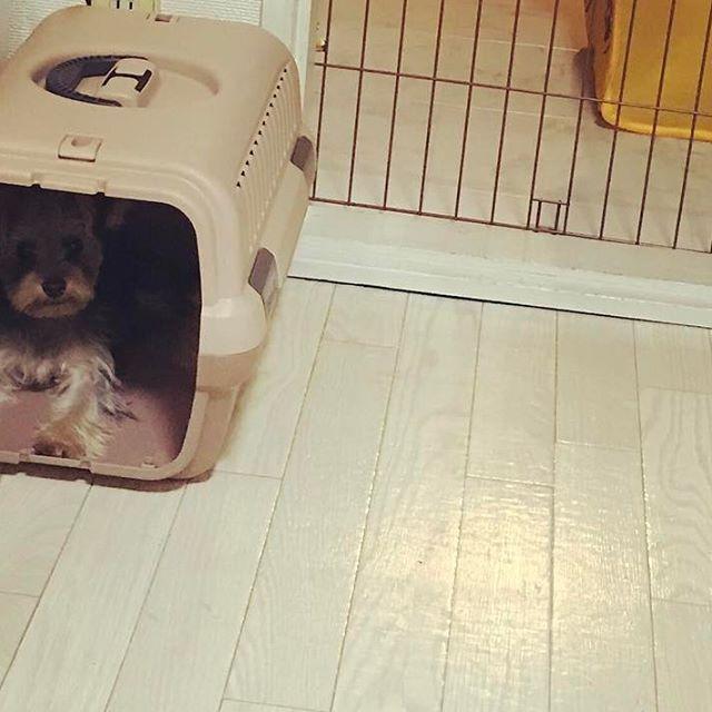 . . 2016.10.7 🚄 . 「お出かけ🐾」って聞こえたなあ 中入って準備しとこ。 . 「mama-!!!! 僕、準備万端。👍🏻」 . ちゃろ🐶初の新幹線。 クレートが大好きなの、ちゃろさん🤣 この口😐がmamaはだいすきw . #ヨークシャテリア #ヨーキー  #横浜 #辻堂 #petplus #犬  #ヨーキーlove #犬バカ部 #犬のいる暮らし #犬がいないと生きていけません #わんこ #dog #pet #愛犬#YorkshireTerrier #Yorkies #垂れ耳 #新幹線 #郡山