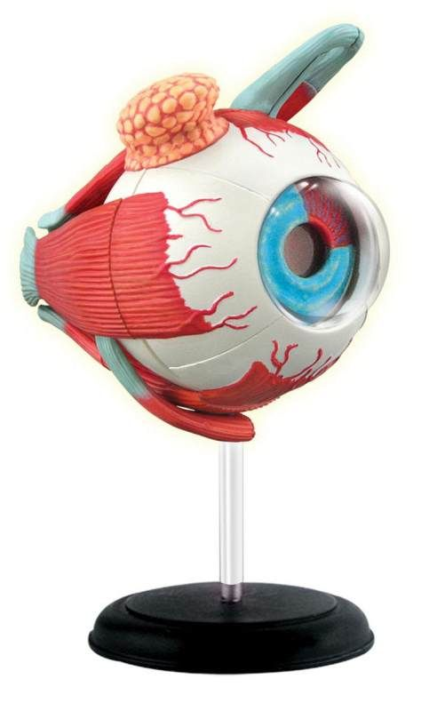 Online Rainbow Resource Center has 4D Human Anatomy Models available - 4D Eyeball Anatomy Model