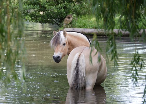 Brown Dun Norwegian Fjord Horse in river, cooling off under weeping willow tree. #DdO:) - https://www.pinterest.com/DianaDeeOsborne/gorgeous-horses-more/ - GORGEOUS HORSES AND MORE. Info from Amy Carter (Thanks!):  People commonly mistake them for a palomino in coloring. There are 5 types of Dun with Brown Dun making up 90 some % of the breed. The breed is about 4,000 yrs old. Great summer equine portrait pinned Echelon. Source: pferd-aktuell