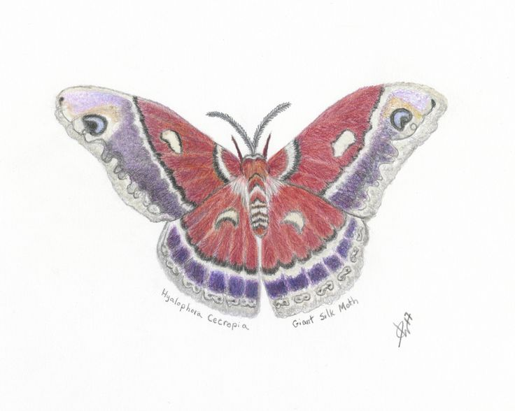 Butterfly Art Print, Colored Pencil Butterfly Print, Butterfly Drawing, Giant Silk Moth Print by ArtByJanetLLC on Etsy