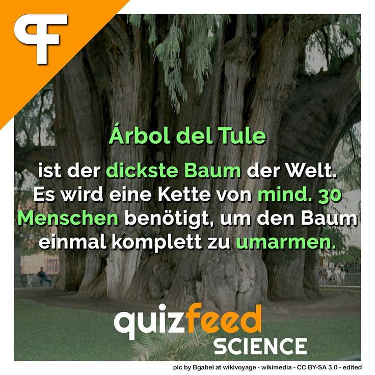 Arbol del Tule ist der dickste Baum der Welt . Es wird eine Kette von mind. 30 Menschen benötigt, um den Baum einmal komplett zu umarmen.  Er ist zwar nur ca. 42 m hoch, hat aber in Bodennähe einen Umfang von 46m. Sein Gewicht wird auf 636 Tonnen geschätzt. Es handelt sich dabei um eine Mexikanische Sumpfzypresse. . Folge @quizfeed - 'Wissen clever verpackt'