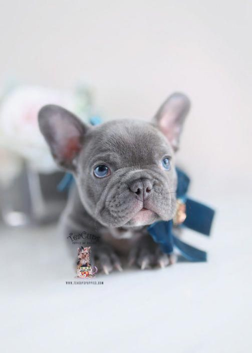 Pin By Debbie Degroff On Frenchies French Bulldog Puppies Blue