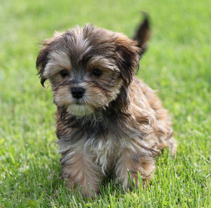Morkie Puppy Adorable Birthday Present Please