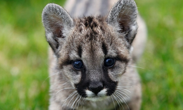 a female baby puma, at the Attica Zoological Park, in Athens, Greece.