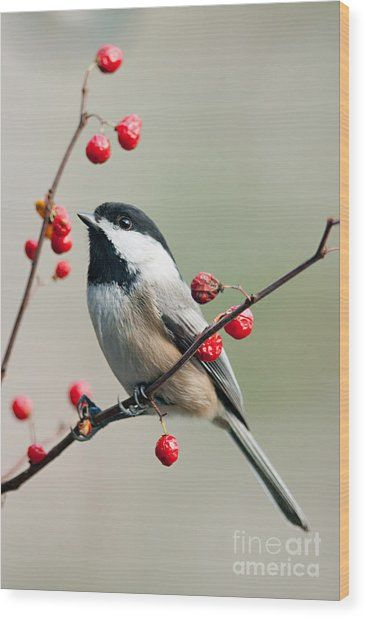 Black Capped Chickadee On Berry Branch Wood Print by Jean A Chang