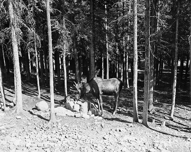 Moose at salt lick near Cameron Lake, Waterton Lakes National Park, Alberta / Un orignal profite d'un bloc à lécher près du lac Cameron, au parc national des Lacs-Waterton, en Alberta | by BiblioArchives / LibraryArchives