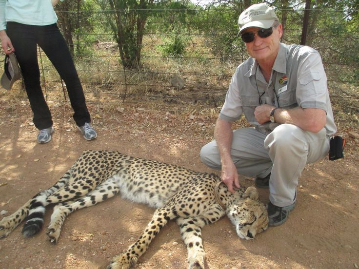 Relaxed Cheetah on one of our Greater Kruger Park Safaris.