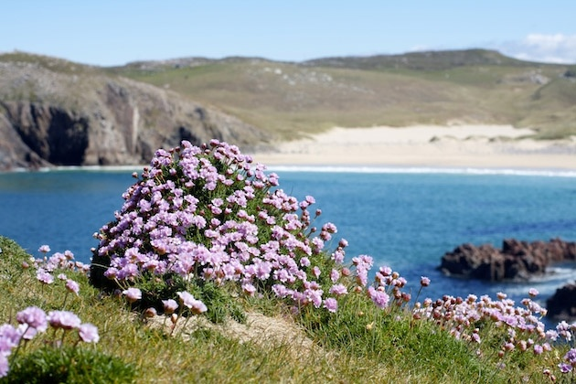 Sea Pink growing on the cliff tops above Mangersta Beach, on the Isle of Lewis. Also known as Thrift, Armenia maritima, and in Scots Gaelic Neoinean Cladaich (Shore Daisy).