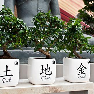 Groene planten zijn zowel decoratief als functioneel. Bonsai Carmona in Cambridge Zibo